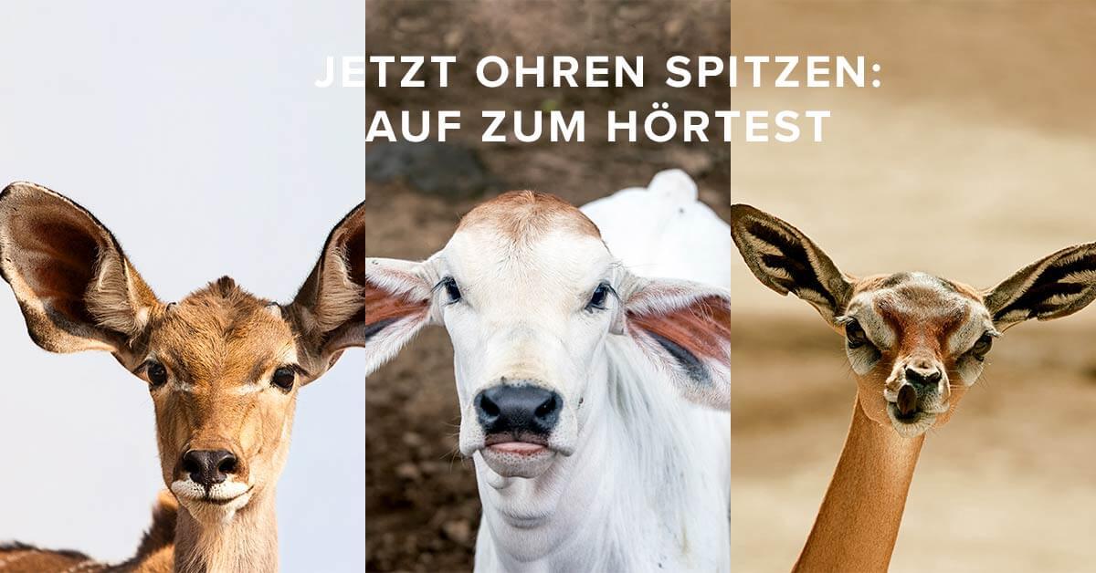 drei Tiere mit sehr grossen Ohren