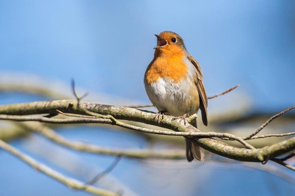entendre-chant-oiseau