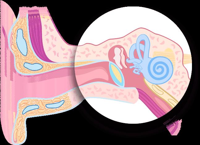 Örat hjälper oss att uppfatta ljud. Lär dig om hur vårt öra fungerar och om örats alla delar. Få information om vårt öra på Audika.se. Lär dig om innerörat.