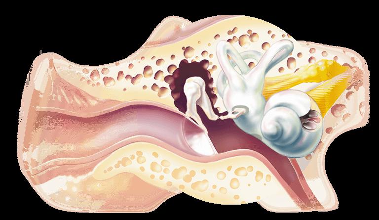 schéma de l'oreille interne