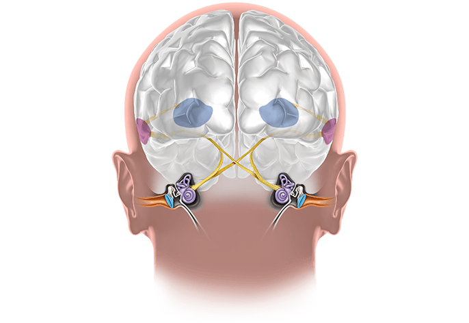 Grafika przestawiająca układ słuchowy